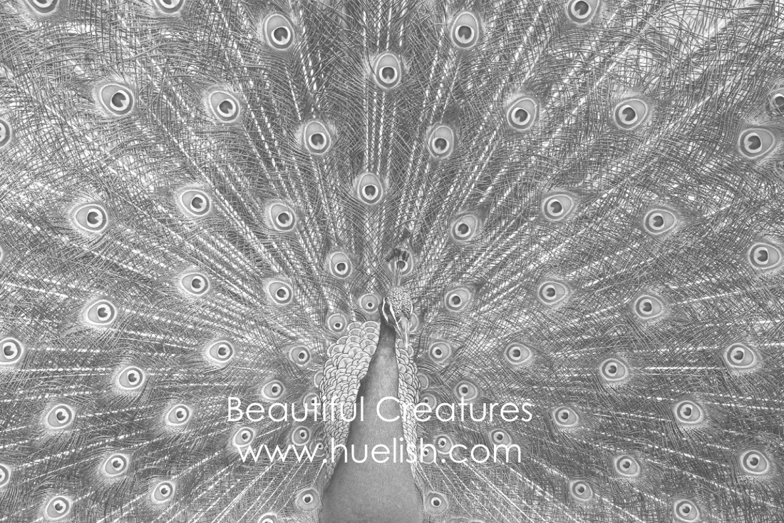 Peacock from the Beautiful Creatures grayscale coloring book