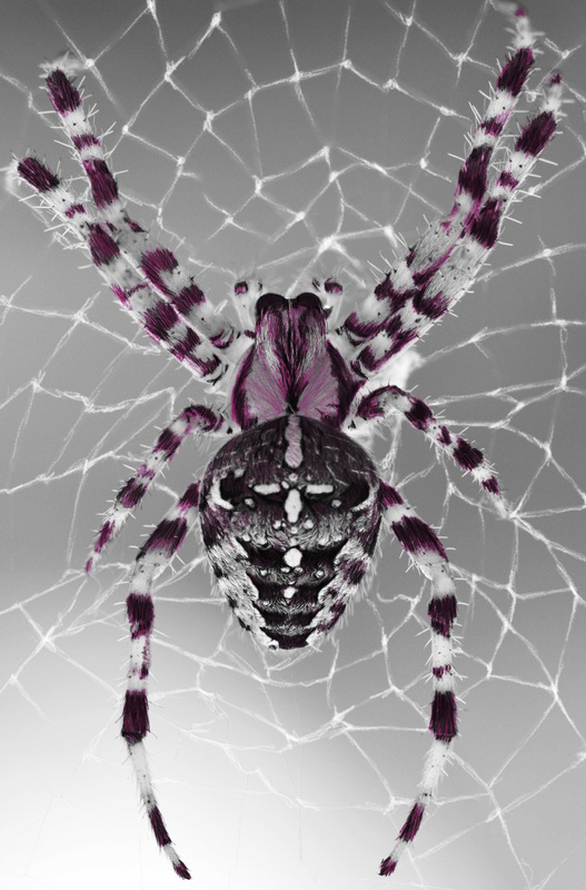 Beautiful Creatures Grayscale Adult Coloring Book Spider