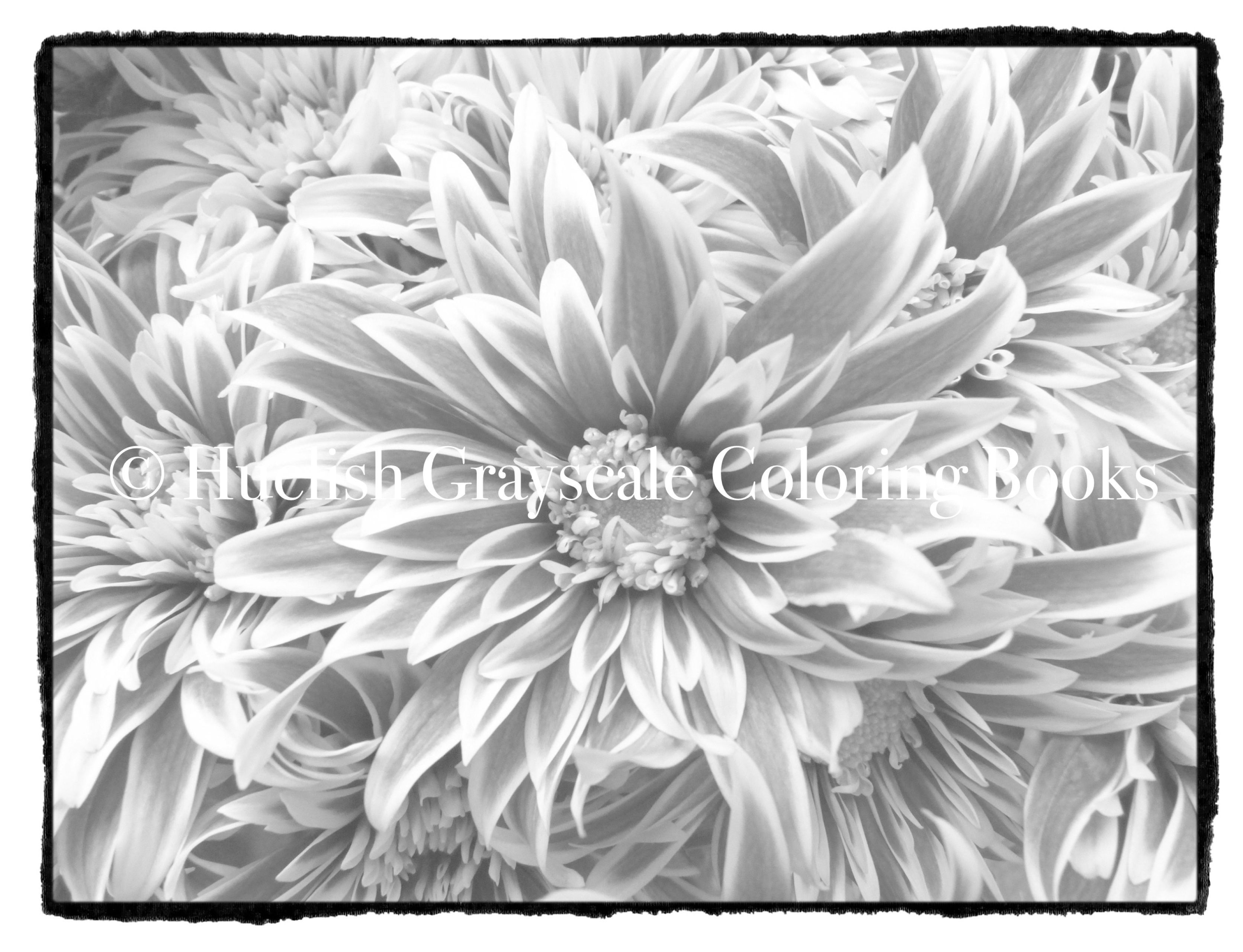 Downloadable Grayscale Coloring Page: Chrysanthemums