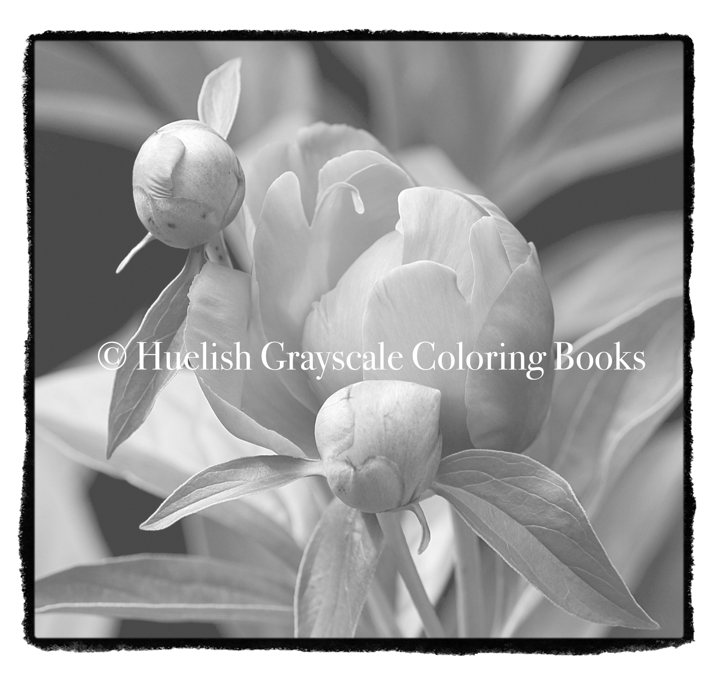 Downloadable Grayscale Coloring Page: Peony Buds